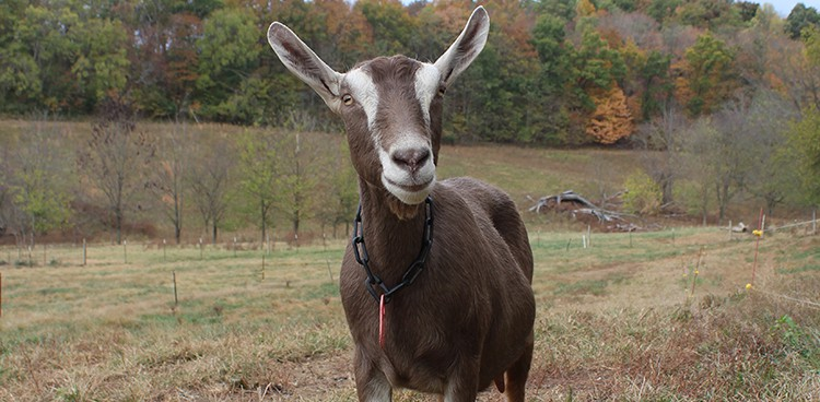 Farm Animal: Toggenburg Goats